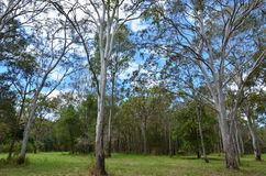 Wild eucalyptus tree forest Royalty Free Stock Photography