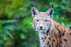 Wild Eurasian lynx cat curious and staring straight into the camera. Background of green leafs and trees out of focus due to shallow depth of field Stock Photos