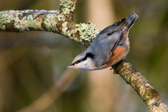 Nuthatch. Wild Eurasian nuthatch crouching on a branch, Estonia Royalty Free Stock Photography