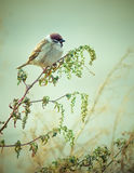 Wild Eurasian Sparrow Bird Sitting on Wood Branch Bright Colorfu. Photo of Wild Eurasian Sparrow Bird Sitting on Wood Branch Bright Colorful Autumn Background Stock Photo