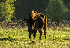 Wild European bison bull in Bialowieza Royalty Free Stock Photo