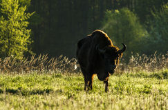 Wild European bison bull in Bialowieza Royalty Free Stock Photography