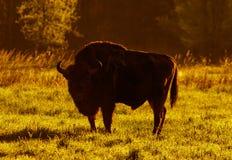 Wild European bison bull in Bialowieza Royalty Free Stock Image