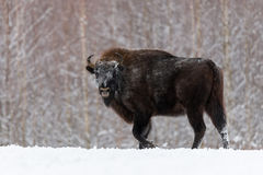 Wild European bison,bull male. Majestic powerful adult Aurochs  Wisent  in winter time, Belarus. Wildlife scene from nature Wi. Th Brown Bison. Aurochs With Royalty Free Stock Image
