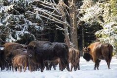 Wild European Brown Bison  Bison Bonasus . Majestic Powerful Adult Aurochs  Wisent  In Winter Forest, Belarus. Female Of Brown Stock Images