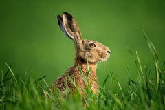 Wild European Hare Close-Up. Hare, Covered With Drops Of Dew, Sitting On The Green Grass Under The Sun.  Single Wild Brown Hare Stock Photos