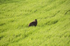Wild European Hare It`s The Same Lepus Europaeus ,Sitting On The Spring Green Grass Background Under The Sun. European Brown Ha Royalty Free Stock Photography