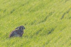 Wild european hare sitting in green grass meadow. Lepus Europaeus.  Stock Photo