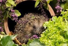 Wild British Hedgehog inside a drainage pipe in the herb garden. A wild, European Hedgehog inside a clay drainage pipe in the herb garden with flowering thyme stock image