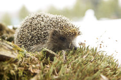 Wild European Hedgehog on a log royalty free stock images