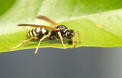 Wild european paper wasp sits on leaf macro Stock Photos