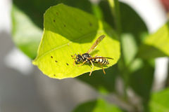 Wild european paper wasp sits on leaf macro Royalty Free Stock Photos