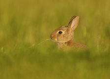 Wild European Rabbit (Oryctolagus cuniculus) Royalty Free Stock Images