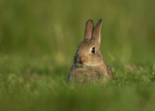 Wild European Rabbit Oryctolagus cuniculus, juveni Stock Image