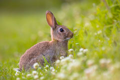 Wild European rabbit. European Wild rabbit (Oryctolagus cuniculus) in lovely green vegetation surroundings with white flowers Stock Images