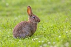 Wild European rabbit sideview Stock Image