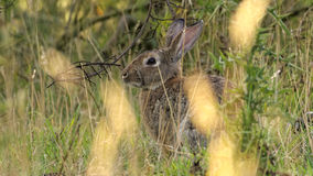 Wild European rabbit in tall grass Royalty Free Stock Image