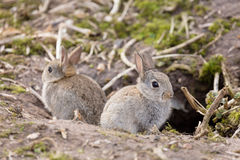 Wild European rabbits. Two baby wild European rabbits sit outside their burrow at a rabbit warren in the UK Stock Photography