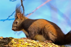 Wild european red squirrel up in the tree Stock Images
