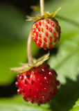 Wild European Strawberry Royalty Free Stock Photo