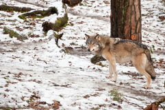 Wild European wolf. In a snow covered forest in Sweden Royalty Free Stock Photos