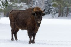Wild European Wood Bison,Bull Male. Motherly Bison Close Up. Adult Wild European Brown Bison  Bison Bonasus  In Winter Time. A. Dult Aurochs  Wisent  In Winter Stock Photos