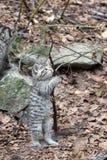 wild europeisk kattunge för katt Royaltyfri Fotografi