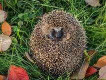 Wild Eurpean Hedgehog, Erinaceus europaeus, curled up in green grass stock photo