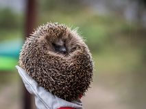 Wild Eurpean Hedgehog, Erinaceus europaeus, curled up in a hand with gloves on stock photo