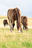 Wild Exmoor ponies. Close up of wild ponies grazing, Exmoor National Park, England Stock Photo
