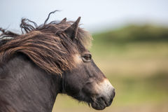 Wild Exmoor Pony Royalty Free Stock Image