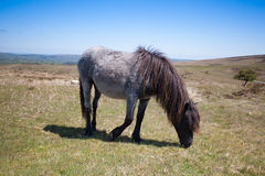Wild Exmoor Pony on the summer pasture,Great Britain Royalty Free Stock Photo