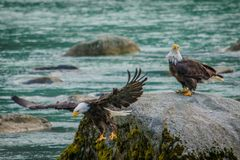 Wild experience of bald eagles in Chilkat bald egle reserve, Alaska. Wild experience in Chilkat bald egle reserve in Alaska, bird-watching in Haines in Alaska royalty free stock photos