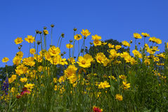 wild färgrika blommor Royaltyfri Foto