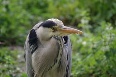 Wild fågel Arkivfoto