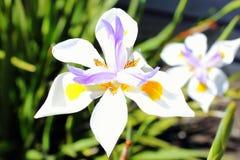 Wild Fairy Iris Royalty Free Stock Image