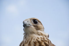 Wild Falcon. Closeup of Wild Falcon head Royalty Free Stock Image