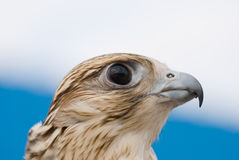 Wild Falcon. Closeup of Wild Falcon head Royalty Free Stock Photos