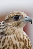 Wild Falcon. Closeup of Wild Falcon head Stock Photos