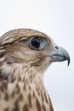 Wild Falcon. Closeup of Wild Falcon head Stock Photo