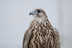 Wild Falcon. Closeup of Wild Falcon head Royalty Free Stock Photo