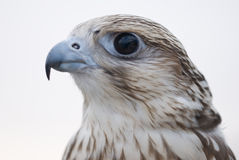 Wild Falcon. Closeup of Wild Falcon head Royalty Free Stock Photography