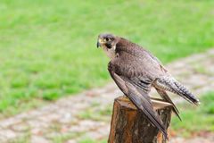 Wild falcon predator hawk fastest raptor bird of prey. Perched on stump and spread their wings against green grass with free copy-space area for text Stock Photo