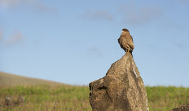 Wild falcon Royalty Free Stock Images