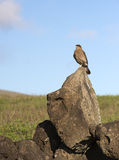 Wild falcon Stock Images
