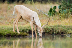 Wild Fallow Deer Buck Royalty Free Stock Photos