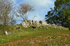 Wild family of old English goat's on cliff edge. Royalty Free Stock Image