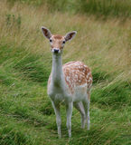 Wild fawn deer Royalty Free Stock Photography