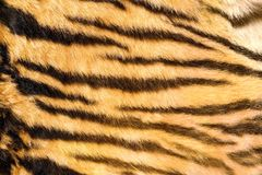 Wild feline  textured fur Royalty Free Stock Photos