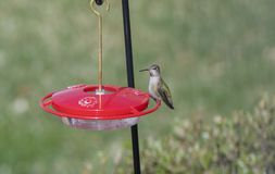 Wild Female Adult Anna`s Hummingbird at a Feeder During Migratio Stock Photo